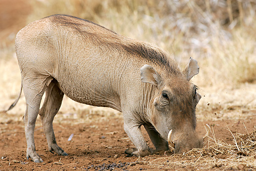 AFW 22 WF0001 01 © Kimball Stock Warthog Digging In Dirt For Food