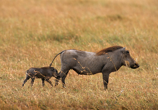 AFW 22 TL0001 01 © Kimball Stock Profile Of Warthog Mother And Piglet Walking On Savanna