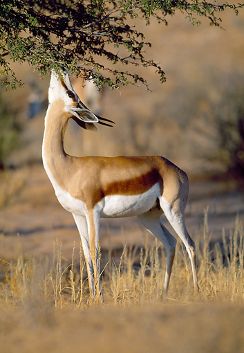 AFW 25 MH0001 01 © Kimball Stock Springbok Reaching Up To Feed On Leaves Namibia