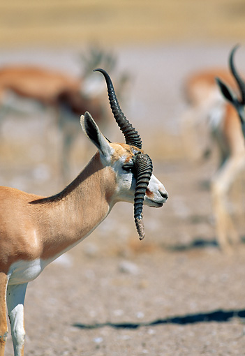 AFW 25 MH0002 01 © Kimball Stock Portrait Of Springbok With Broken Horn Standing On Plains Namibia