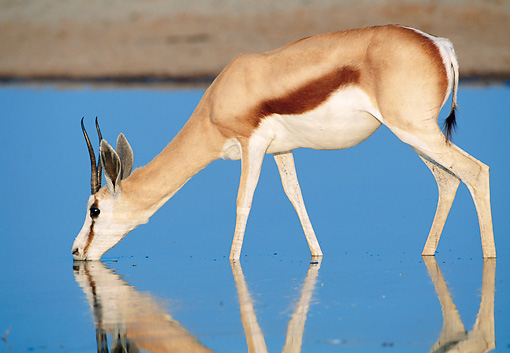 AFW 25 MH0003 01 © Kimball Stock Springbok Drinking From Watering Hole Namibia