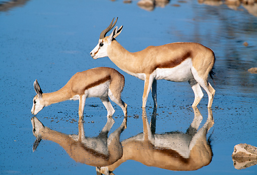 AFW 25 MH0004 01 © Kimball Stock Springbok Adult And Young Drinking From Watering Hole Namibia