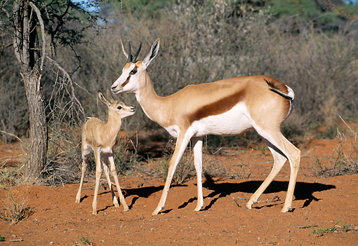 AFW 25 MH0005 01 © Kimball Stock Springbok Adult And Young Standing In Desert Namibia