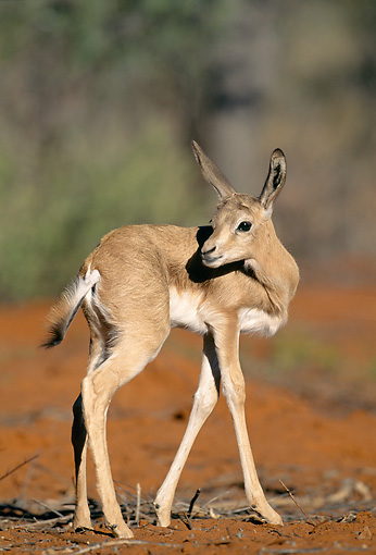 AFW 25 MH0006 01 © Kimball Stock Young Springbok Standing In Desert Namibia