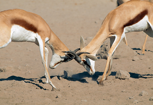 AFW 25 MH0007 01 © Kimball Stock Two Springbok Males Fighting On Sand Namibia