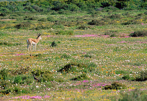 AFW 25 MH0008 01 © Kimball Stock Springbok Standing In Field Of Wildflowers South Africa