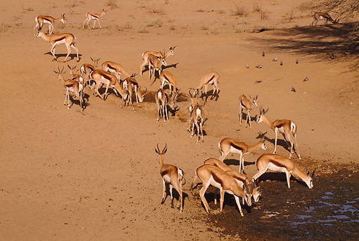 AFW 25 RF0001 01 © Kimball Stock Springbok Herd At Desert Waterhole South Africa