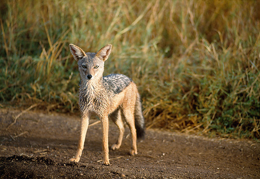 AFW 26 GL0001 01 © Kimball Stock Portrait Of Black-Backed Jackal Standing On Dirt