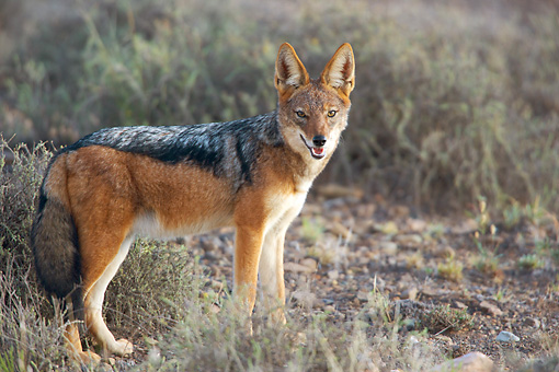 AFW 26 HP0001 01 © Kimball Stock Black-Backed Jackal Standing In Grassland Karoo National Park, South Africa