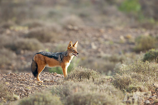 AFW 26 HP0002 01 © Kimball Stock Black-Backed Jackal Standing In Grassland Karoo National Park, South Africa