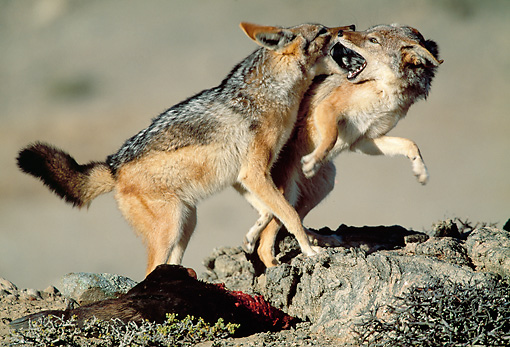 AFW 26 MH0004 01 © Kimball Stock Two Black-Backed Jackals Fighting Over Kill Namibia