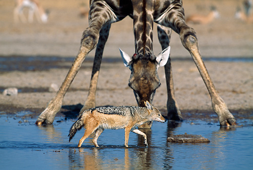 AFW 26 MH0005 01 © Kimball Stock Black-Backed Jackal Walking Through Water With Giraffe In Background Namibia