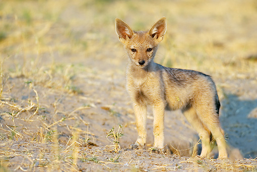 AFW 26 WF0001 01 © Kimball Stock Black-Backed Jackal Puppy Standing At Entrance Of Burrow