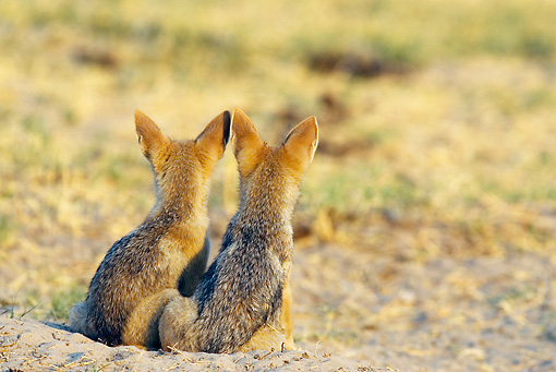 AFW 26 WF0002 01 © Kimball Stock Back View Of Two Black-Backed Jackal Puppies Sitting At Entrance Of Burrow