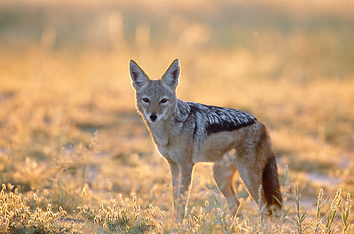 AFW 26 KH0001 01 © Kimball Stock Black-Backed Jackal Standing In Field