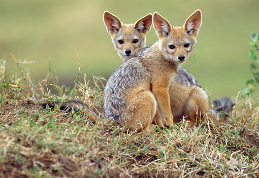 AFW 26 RW0002 01 © Kimball Stock Two Black-Backed Jackal Pups Sitting On Grass Kenya