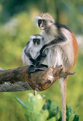 AFW 28 MH0003 01 © Kimball Stock Zanzibar Red Colobus Sitting On Tree Branch With Baby In Jungle