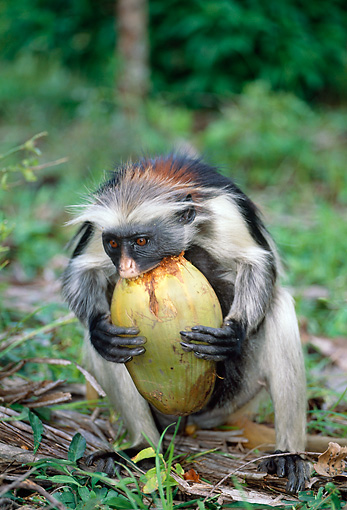AFW 28 MH0006 01 © Kimball Stock Portrait Of Zanzibar Red Colobus Eating Fruit In Jungle