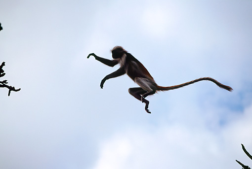 AFW 28 MH0008 01 © Kimball Stock Zanzibar Red Colobus Leaping From Branch To Branch In Jungle