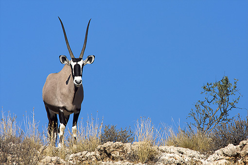 AFW 29 HP0003 01 © Kimball Stock Gemsbok Standing On Rocks Against Blue Sky Kgalagadi Transfrontier Park, South Africa
