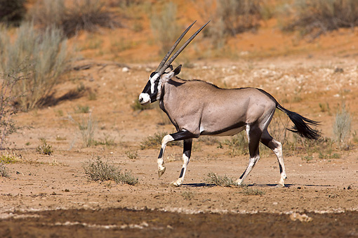 AFW 29 HP0004 01 © Kimball Stock Gemsbok Walking Through Plains Kgalagadi Transfrontier Park, South Africa