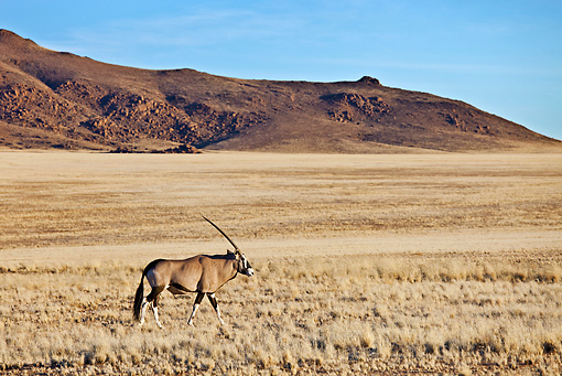 AFW 29 MH0001 01 © Kimball Stock Gemsbok Walking On Savanna Namibia