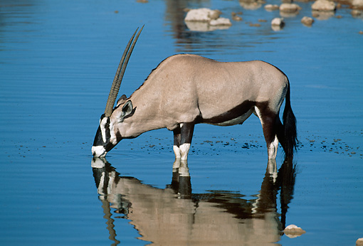 AFW 29 MH0002 01 © Kimball Stock Gemsbok Standing In Shallow Water Drinking
