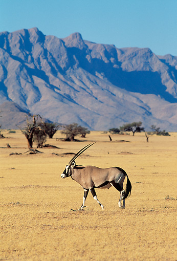 AFW 29 MH0003 01 © Kimball Stock Portrait Of Gemsbok Walking On Plains