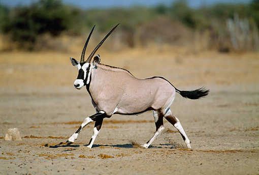 AFW 29 MH0004 01 © Kimball Stock Portrait Of Gemsbok Running On Plains