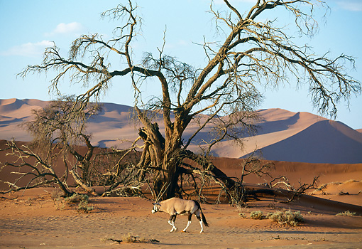 AFW 29 MH0005 01 © Kimball Stock Gemsbok Walking By Dead Tree On Plains