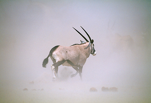 AFW 29 MH0006 01 © Kimball Stock Gemsbok Walking Through Misty Plains
