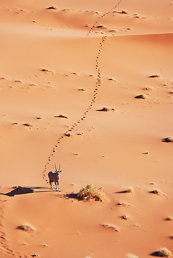 AFW 29 MH0010 01 © Kimball Stock Overhead View Of Gemsbok Walking Through Namib Desert