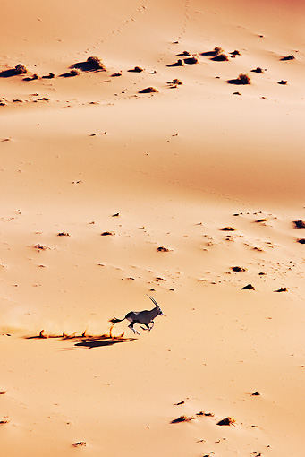 AFW 29 MH0011 01 © Kimball Stock Overhead View Of Gemsbok Running Through Namib Desert