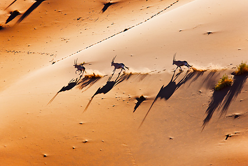 AFW 29 MH0012 01 © Kimball Stock Overhead View Of Three Gemsbok Running Through Namib Desert