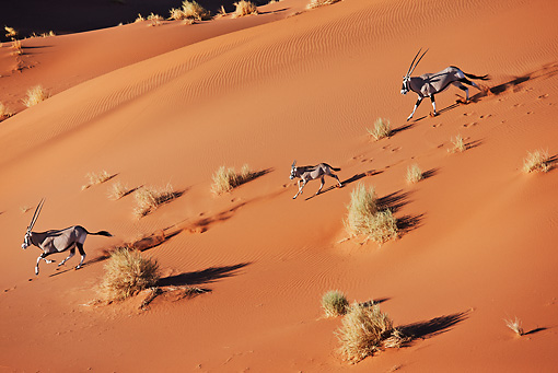 AFW 29 MH0014 01 © Kimball Stock Overhead View Of Three Gemsbok Running Through Namib Desert