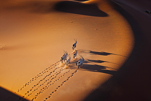 AFW 29 MH0015 01 © Kimball Stock Overhead View Of Seven Gemsbok Walking Through Namib Desert