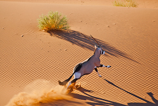 AFW 29 MH0017 01 © Kimball Stock Overhead View Of Gemsbok Running Through Namib Desert