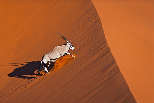 AFW 29 MH0018 01 © Kimball Stock Gemsbok Running Up Slope In Namib Desert