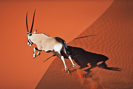AFW 29 MH0019 01 © Kimball Stock Gemsbok Running Up Slope In Namib Desert