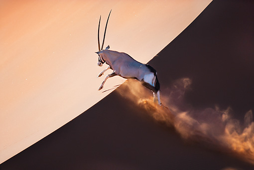 AFW 29 MH0020 01 © Kimball Stock Gemsbok Running Up Slope In Namib Desert