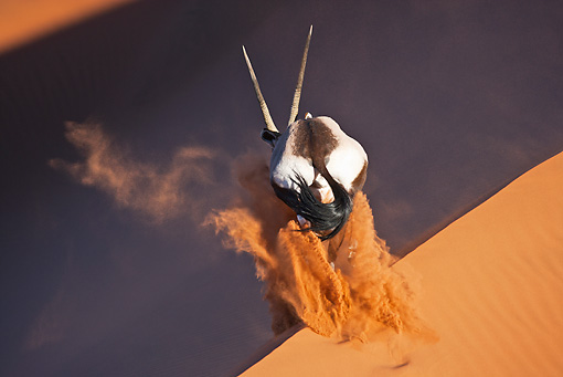 AFW 29 MH0021 01 © Kimball Stock Back View Of Gemsbok Running Up Slope In Namib Desert