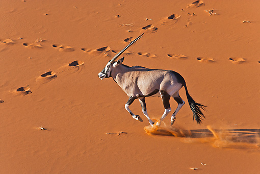 AFW 29 MH0022 01 © Kimball Stock Gemsbok Running Through Namib Desert