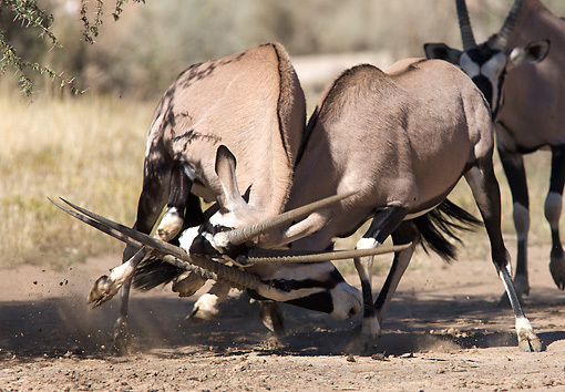 AFW 29 WF0001 01 © Kimball Stock Gemsbok Bulls Sparring On Plains South Africa