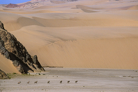AFW 29 SM0027 01 © Kimball Stock Herd Of Gemsbok In Distance African Desert