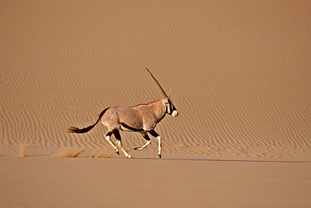 AFW 29 SM0028 01 © Kimball Stock Profile Shot Of Gemsbok Running On Sand In African Desert