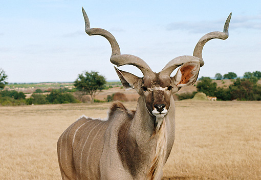 AFW 31 BA0001 01 © Kimball Stock Close-Up Of Greater Kudu Bull Standing In Plain