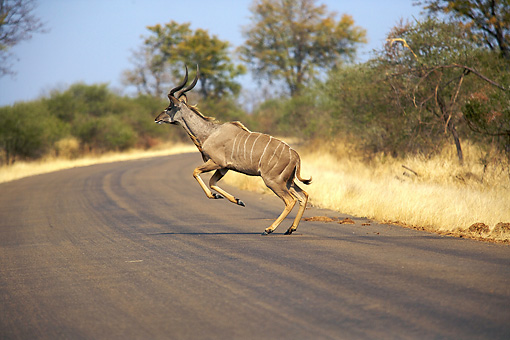 AFW 31 HP0006 01 © Kimball Stock Nyala Running Across Road Kruger National Park, South Africa