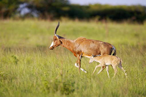 AFW 31 HP0008 01 © Kimball Stock Blesbok Mother And Baby Walking Through Grassland KwaZulu Natal Midlands, South Africa