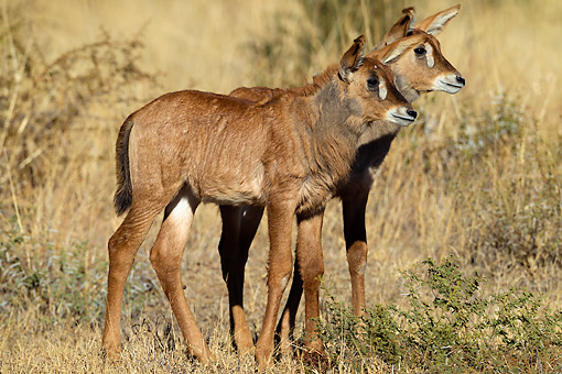 AFW 31 KH0004 01 © Kimball Stock Roan Antelope Young Calves Standing In South Africa