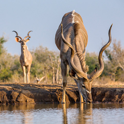 AFW 31 KH0007 01 © Kimball Stock Greater Kudu Drinking At Waterhole In Botswana